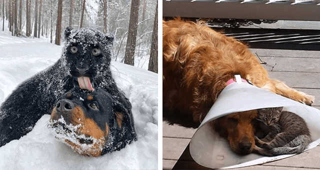 pictures of different animals being friends thumbnail includes two pictures including a dog wearing a cone lying on the ground and a cat lying inside of its cone with him and another of a black leopard and a a dog in the snow with the leopard licking the dog