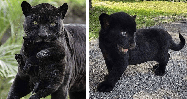 pictures of black panthers thumbnail includes two pictures including a black panther cub and a black panther holding a black panther cub in its mouth