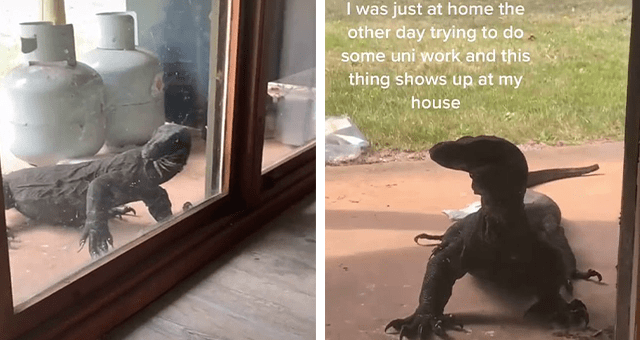 story about a huge goanna showing up at someone's backyard and going viral thumbnail includes two pictures of a large reptile standing near a glass window 'Adaptation - I was just at home the other day trying to do some uni work and this thing shows up at my house © sabellryan TIKTOK'