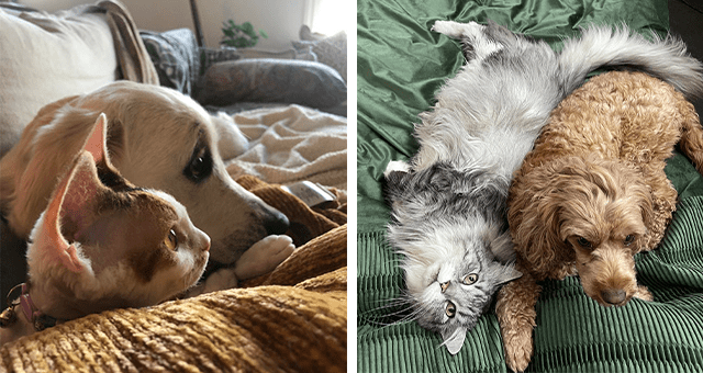pictures of cats and dogs being friends thumbnail includes two pictures of a cat and a dog lying together