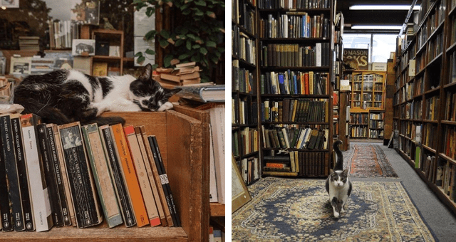 pictures of cats in bookstores and libraries thumbnail includes two pictures including a cat walking in a library and a cat sleeping on books