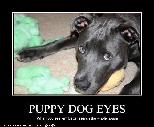 house pitbull puppy dog eyes suspicious trouble