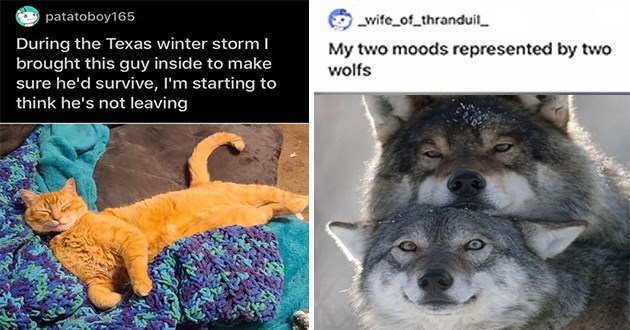 "adorable and wholesome animal pic - thumbnail includes two images - happy orange cat ""During the Texas winter storm I brought this guy inside to make sure he'd survive, I'm starting to think he's not leaving"" and two wolves with two different expressions ""My two moods represented by two wolfs"""