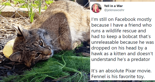 viral tweets about a rescued bobcat kitten thumbnail includes a picture of a bobcat lying in a pile of dill and a tweet 'Vertebrate - Yell in a War ... @jelenawoehr I'm still on Facebook mostly because I have a friend who runs a wildlife rescue and had to keep a bobcat that's unreleasable because he was dropped on his head by a hawk as a kitten and doesn't understand he's a predator It's an absolute Pixar movie. Fennel is his favorite toy. 9:20 PM Mar 18, 2021 Twitter for iPhone 6,144 Retweets '
