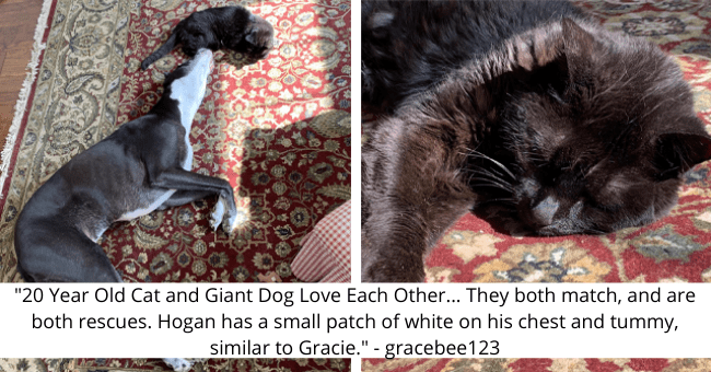 "viral imgure thread about a senior cat and a dog who love each other thumbnail includes two pictures including a black cat and another of a black cat and a great Dane dog '""20 Year Old Cat and Giant Dog Love Each Other... They both match, and are both rescues. Hogan has a small patch of white on his chest and tummy, similar to Gracie."" - gracebee123'"