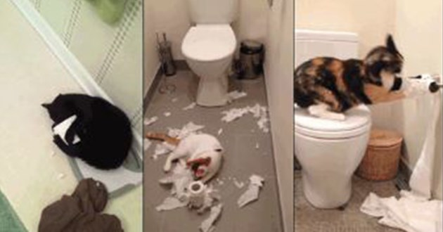 cats destroying toilet paper - thumbnail includes three images of cats destroying toilet paper