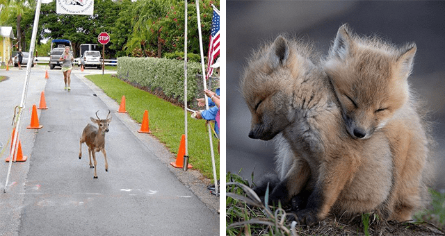 this week's collection of pictures that are worth more than 1000 words thumbnail includes two pictures including a deer crossing a race finish line and two fox cubs cuddling