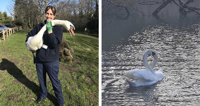 story about a rescued swan reuniting with its mate thumbnail includes two pictures including a rescuer holding a swan and two swans reunited