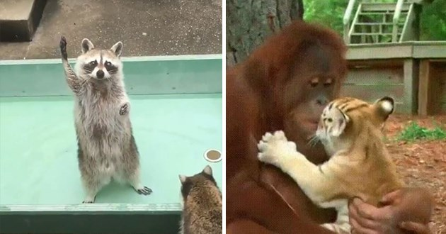 animal gifs - thumbnail of raccoon asking for treats and a picture of an orangutan holding a tiger cub