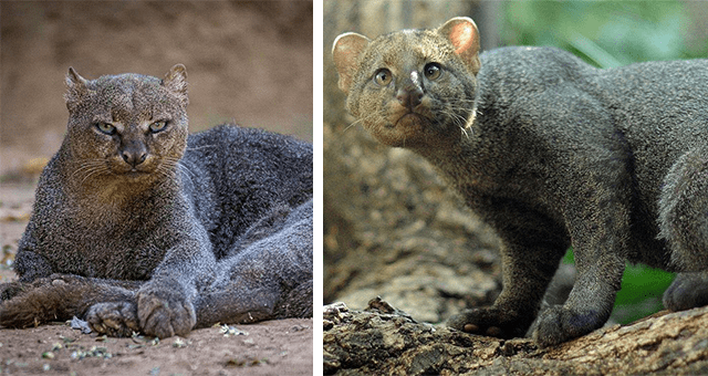 pictures of jaguarundis thumbnail includes two pictures of jaguarundis