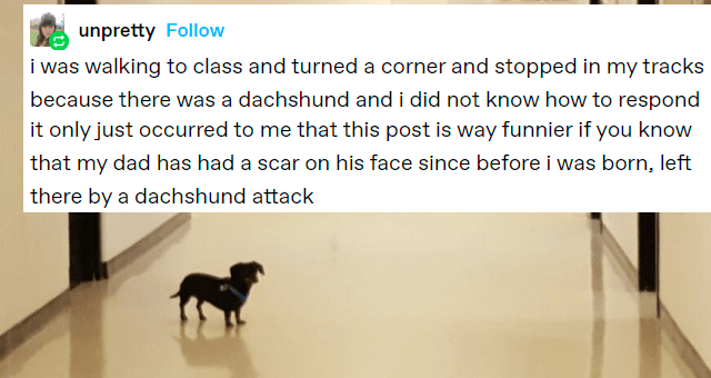 tumblr thread about a family cursed by a dachshund thumbnail includes a picture of a tiny dachshund 'Rectangle - unpretty Follow inARL i was walking to class and turned a corner and stopped in my tracks because there was a dachshund and i did not know how to respond Rectangle - unpretty Follow it only just occurred to me that this post is way funnier if you know that my dad has had a scar on his face since before i was born, left there by a dachshund attack'