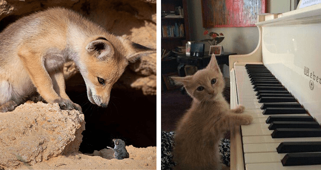 this week's collection of pictures that are worth more than 1000 words thumbnail includes two pictures including a mouse communicating with a fox and a cat playing the piano