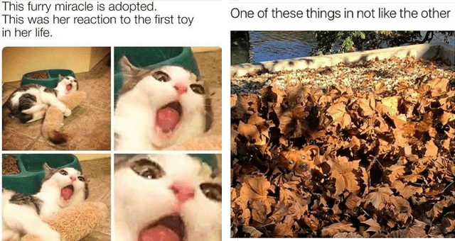 collection of animal memes thumbnail includes two memes including a shocked cat 'Photograph - This furry miracle is adopted. This was her reaction to the first toy in her life.' and a dog camaflauged in a pile of leaves 'Leaf - One of these things in not like the other'