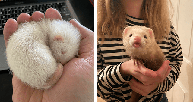 pictures of ferrets for national ferret day thumbnail includes two pictures including a newborn ferret in someone's hand and a ferret doing a blep
