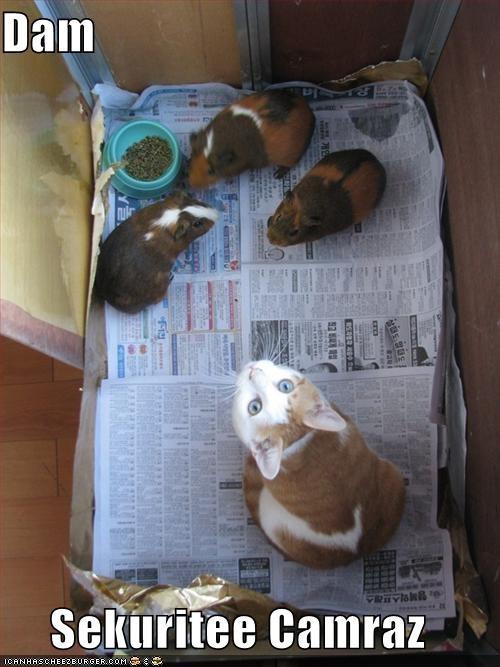 cameras cute guinea pig lolcats lolguinea lolguineas murder nom nom nom security system - 1397110016