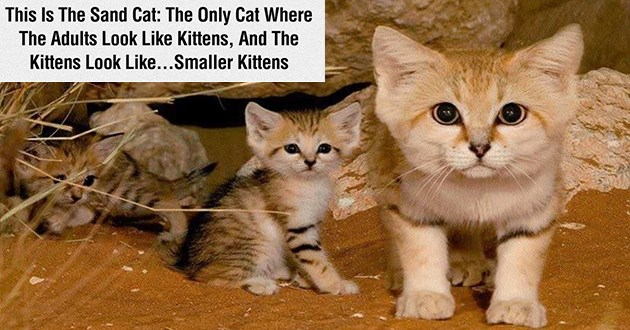 "list of funny and fresh animal memes - thumbnail includes ""This Is The Sand Cat: The Only Cat Where The Adults Look Like Kittens, And The Kittens Look Like...Smaller Kittens"""