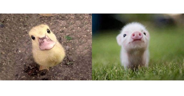 cute baby animals - thumbnail of duckling and piglet