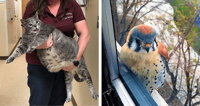 this week's collection of pictures that are worth more than 1000 words thumbnail includes two pictures including someone holding a really fat cat and an American Kestrel bird sitting on a window sill
