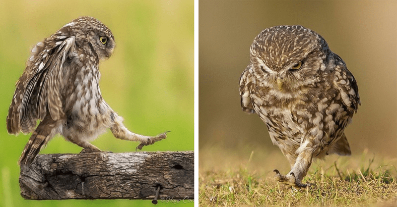 owls walking with determination