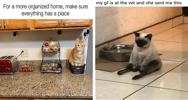 Caturday cat memes thumbnail includes two memes including a cat sitting on its butt 'Carnivore - my gf is at the vet and she sent me this' and a cat sitting in a basket 'Cat - For a more organized home, make sure everything has a place ८'