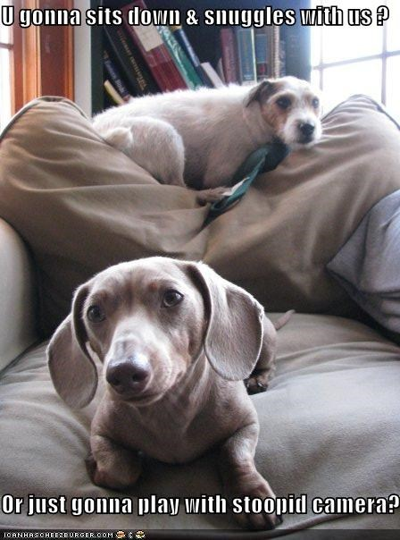 camera,chair,jack russel terrier,snuggle,weimaraner