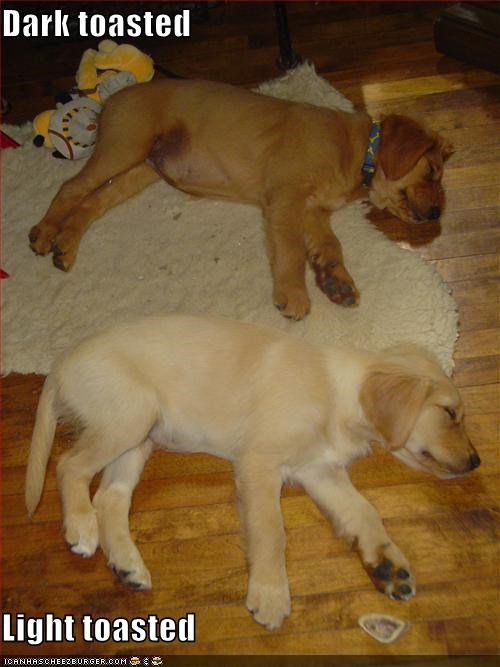 color dark fur labrador light puppies tanning