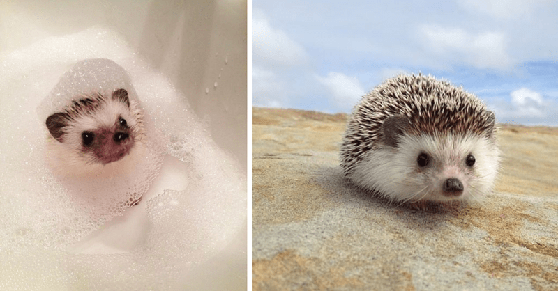 photos of cute hedgehogs