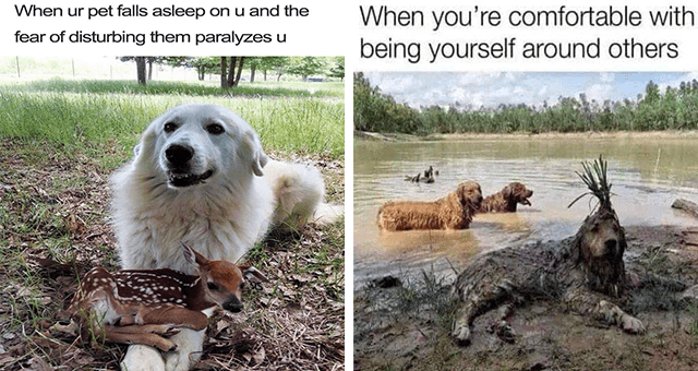 this week's collection of dog memes thumbnail includes two memes including a dog with a baby dear on its front legs 'Dog - When ur pet falls asleep on u and the fear of disturbing them paralyzes u' and a dog covered in mug with another dog behind it 'Water - When you're comfortable with being yourself around others'