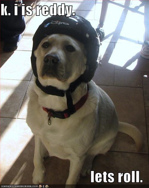 helmet,labrador,motorcycle,ready,rolling