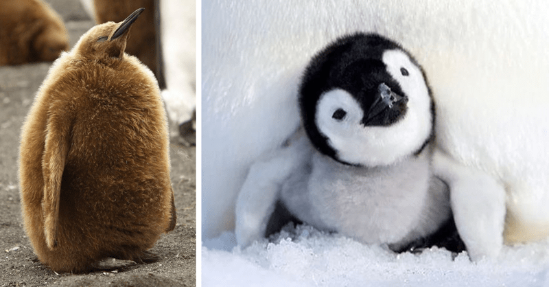 10 pictures of cute baby penguins
