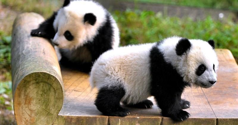 panda list cute animals - 1409285