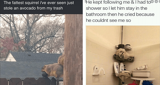 list of funny and fresh animal memes thumbnail includes two memes including a tiny dog sitting in a shower 'Interior design - He kept following me & I had to shower so l let him stay in the bathroom then he cried because he couldnt see me so NOCTS' and a fat squirrel holding an avocado 'Vertebrate - just stole an avocado from my trash The fattest squirrel i've ever seen'