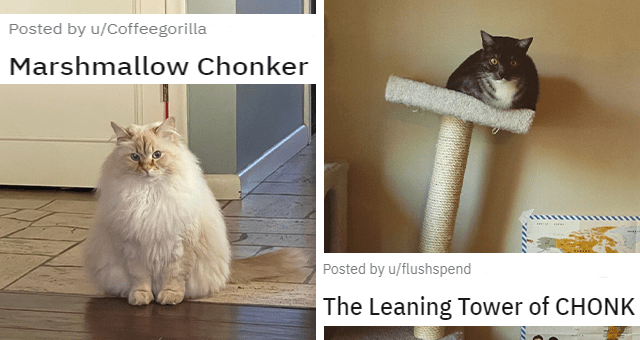 reddit posts of chonky cats thumbnail includes two pictures including a fat chonky light colored cat '' and a fat cat sitting on a cat tree and making it lean to the side ''