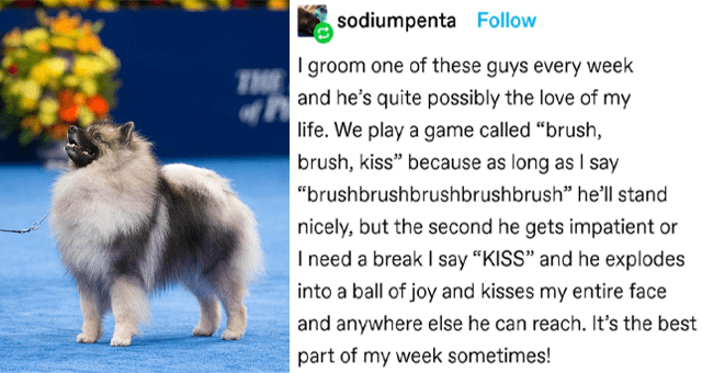 "collection of wholesome dog memes and tweets thumbnail includes a picture of a dog and one tumblr post 'Dog - THE K CH quichehound: sodiumpenta: I groom one of these guys every week and he's quite possibly the love of my life. We play a game called ""brush, brush, kiss"" because as long as I say ""brushbrushbrushbrushbrush"" he'll stand nicely, but the second he gets impatient or I need a break I say ""KISS"" and he explodes into a ball of joy and kisses my entire face and anywhere else he can reach.'"