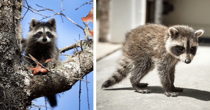 photos of cute raccoons