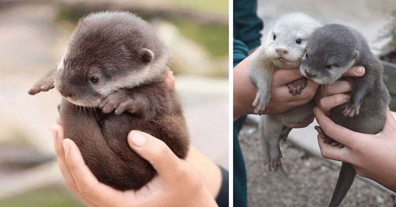 10 pictures of cute baby otters