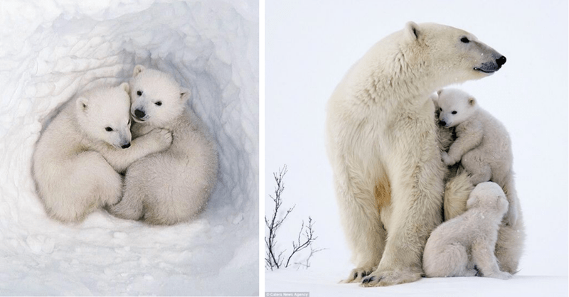 11 cute pictures of polar bears