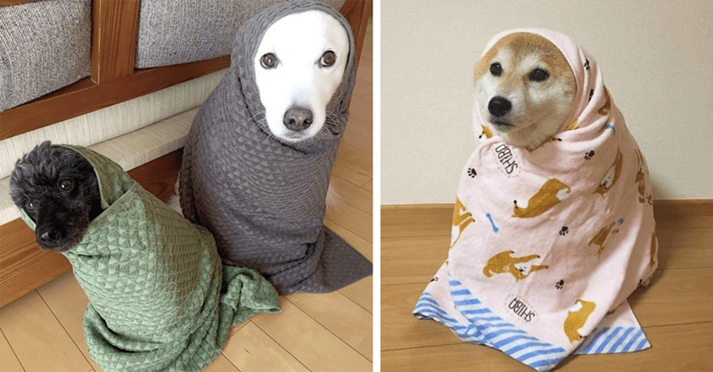 11 cute photos of dog burritos