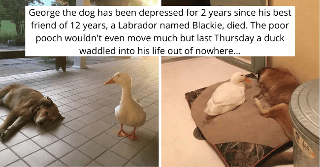 tumblr thread about a mourning dog befriending a duck and starting to smile again thumbnail includes two pictures of a dog and a duck 'George the dog has been depressed for 2 years since his best friend of 12 years, a Labrador named Blackie, died. The poor pooch wouldn't even move much but last Thursday a duck waddled into his life out of nowhere...'