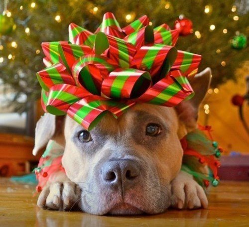 christmas pets christmas daww dogs pets christmas animals Cats - 141061
