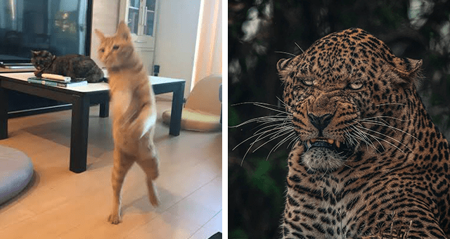 this week's collection of pictures that are worth more than 1000 words thumbnail includes two pictures including an angry looking leopard and a blurry cat walking on its two back legs
