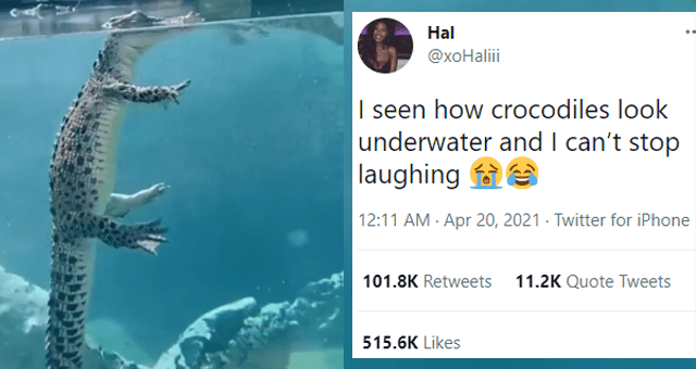 viral tweets about what crocodiles look like underwater thumbnail includes a picture of a crocodile floating underwater and one tweet 'Water - Hal @xoHali I seen how crocodiles look underwater and I can't stop laughing e 12:11 AM - Apr 20, 2021 - Twitter for iPhone 101.8K Retweets 11.2K Quote Tweets 515.6K Likes'