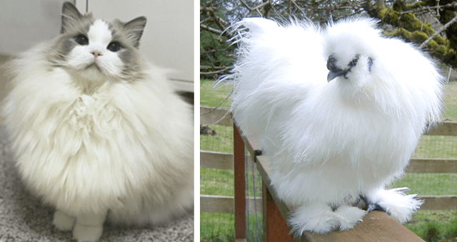 a collection of various cute and fluffy animals | funny and cute picture of a very fluffy white chicken sitting on top of a wooden fence