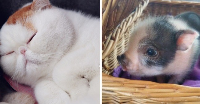 a list of adorable close-up photos of different animal noses | cute sleeping white cat with an adorable close-up photo of a piglet in a basket