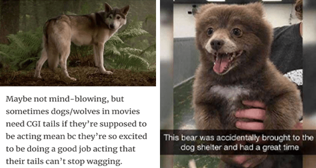 collection of animal memes thumbnail includes two memes including a bear that looks like a puppy 'Photograph - This bear was accidentally brought to the dog shelter and had a great time' and a wolf 'Jaw - Maybe not mind-blowing, but sometimes dogs/wolves in movies need CGI tails if they're supposed to be acting mean bc they're so excited to be doing a good job acting that their tails can't stop wagging.'