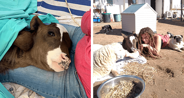 story about a calf found suckling milk from its dead mother getting rescued and loving hugs thumbnail includes two pictures including a calf being operated on and another of a calf hanging out with a person and other animals