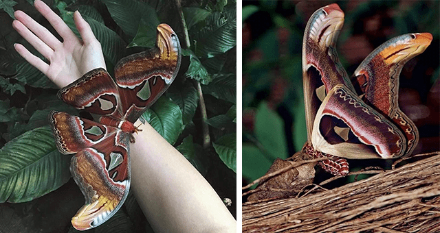 pictures of the Atlas moth one of the largest moths in the world | thumbnail includes two pictures of the Atlas moth