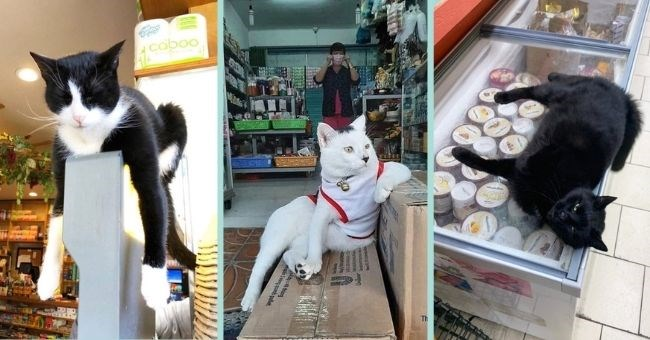 cute cats hanging around in bodegas acting like they own the place | thumbnail includes three pictures of cats lying around