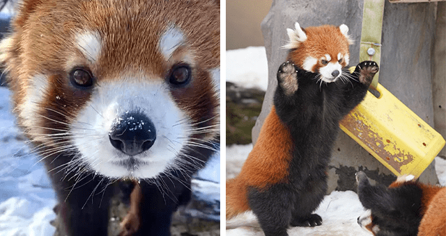 pictures of red pandas thumbnail includes two pictures of red pandas