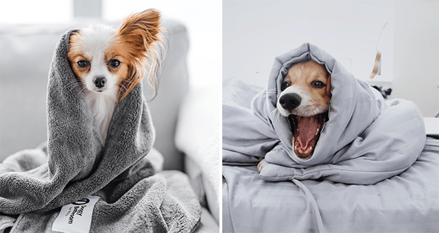 pictures of dogs wrapped up in blankets thumbnail includes two pictures of dogs under blankets